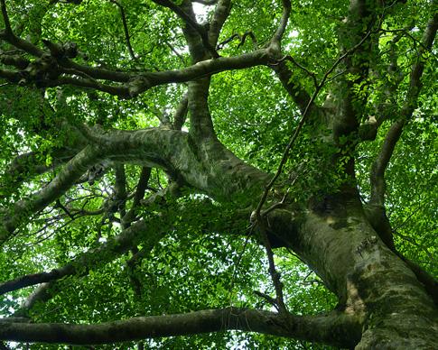一万年以上前から残る大阪府天然記念物「ブナの原生林」