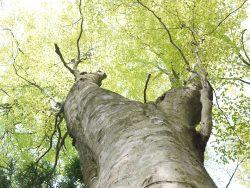 妙見山のブナ林